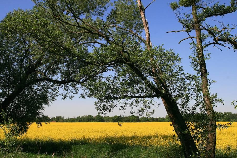 Blick auf blühende Rapsfelder in der Dübener Heide © Annett Freudenreich