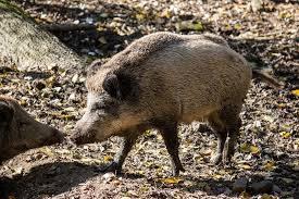 schweinepest © pixabay