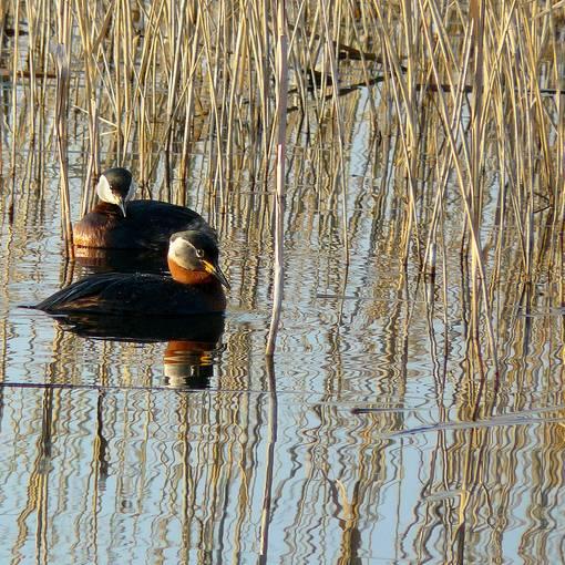 Brutgebiete zahlreicher Wasservögel © Günter Röber